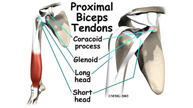 Bicep-Shoulder Anatomy
