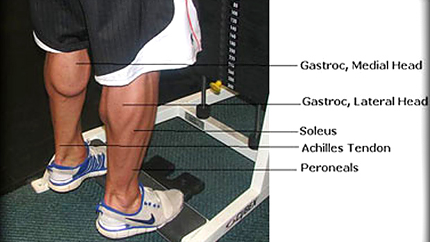 Muscles of the Calf