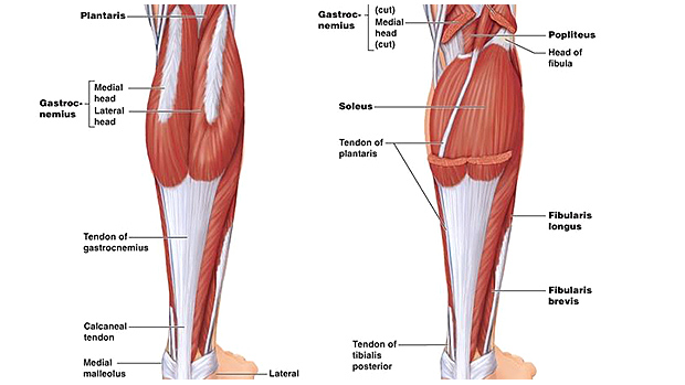Calves Anatomy