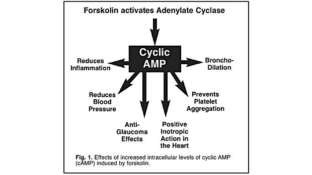 Cyclic AMP
