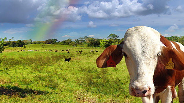 Grass-fed Cow and Rainbow