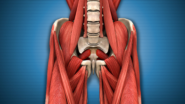 Hip Muscles