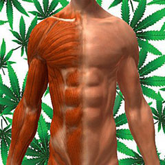 Marijuana and Muscle