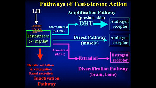 Pathways of Testosterone Action