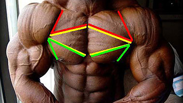 The upper, middle and lower chest