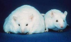 Fat mice