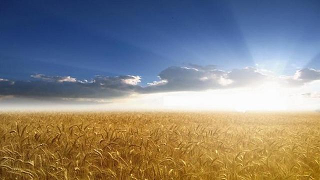 golden-grain