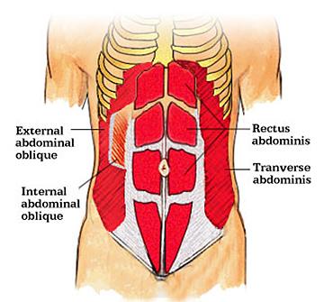 rectus abdominus