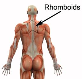 Rhomboid Muscles